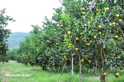 Ở đồng bằng, không được mua quá 100 héc ta đất trồng cây lâu năm.