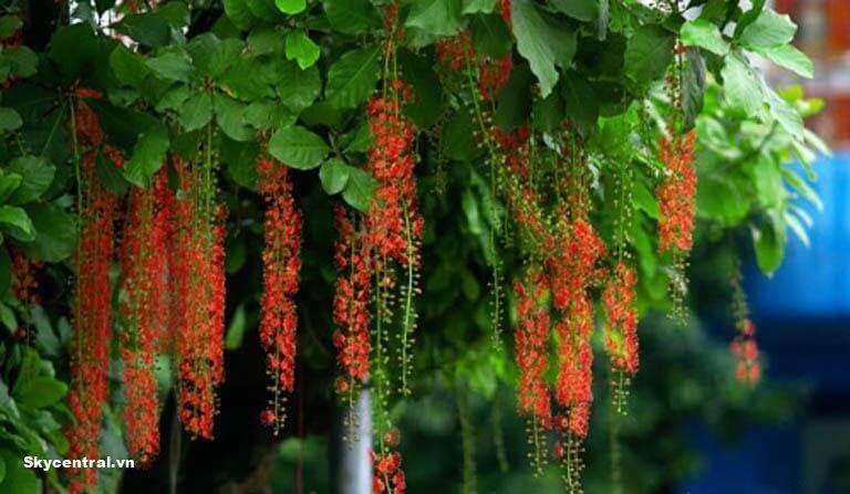 Hình ảnh hoa của cây lộc vừng hoa đỏ khi ra hoa.